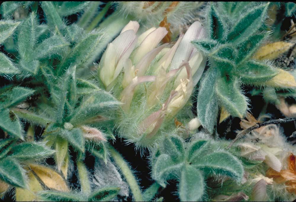 Trifolium andersonii ssp. andersonii