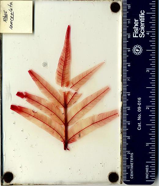 Rhus lanceolata
