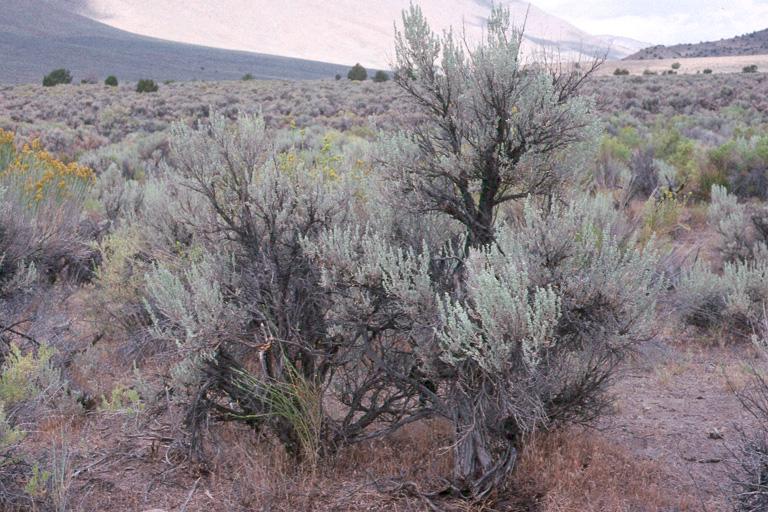 Artemisia tridentata ssp. tridentata