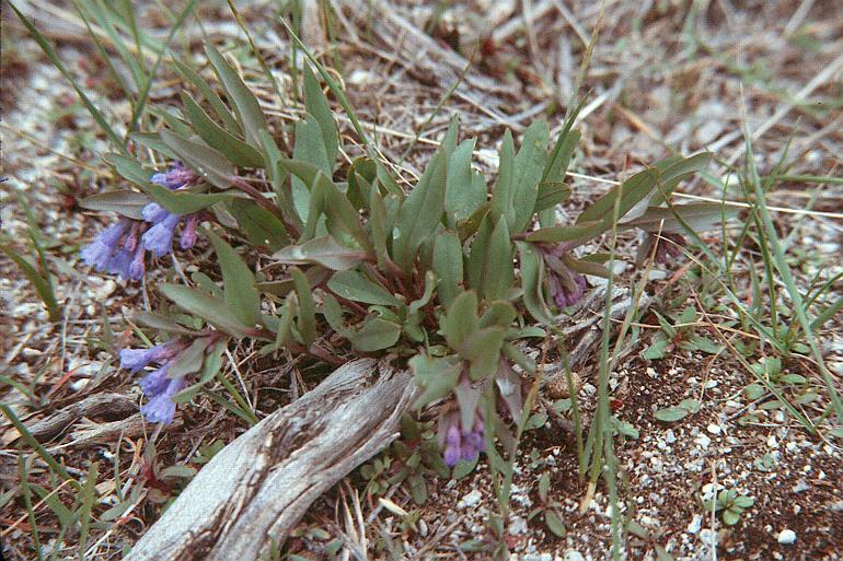 Mertensia oblongifolia var. nevadensis