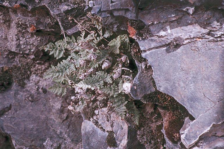 Myriopteris gracilis