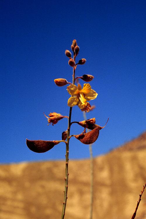 Caesalpinia virgata