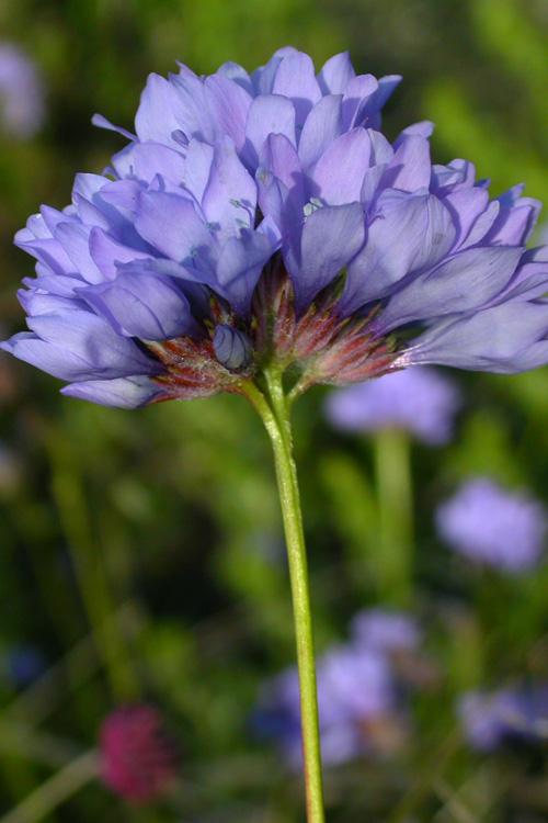 Gilia achilleifolia ssp. achilleifolia