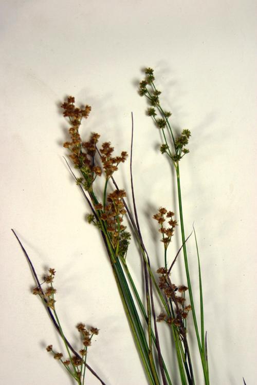 Juncus acuminatus