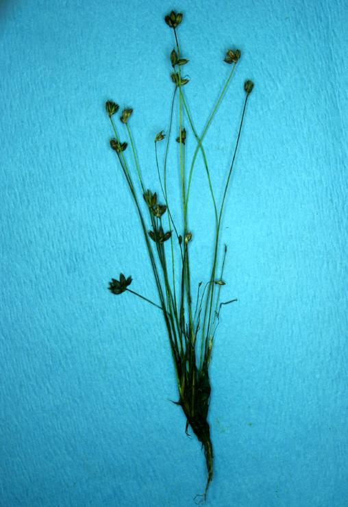 Juncus triformis