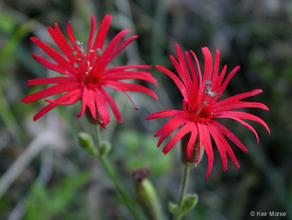 Silene laciniata ssp. major