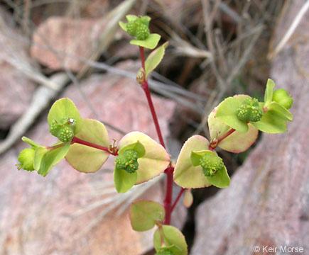 Euphorbia spathulata
