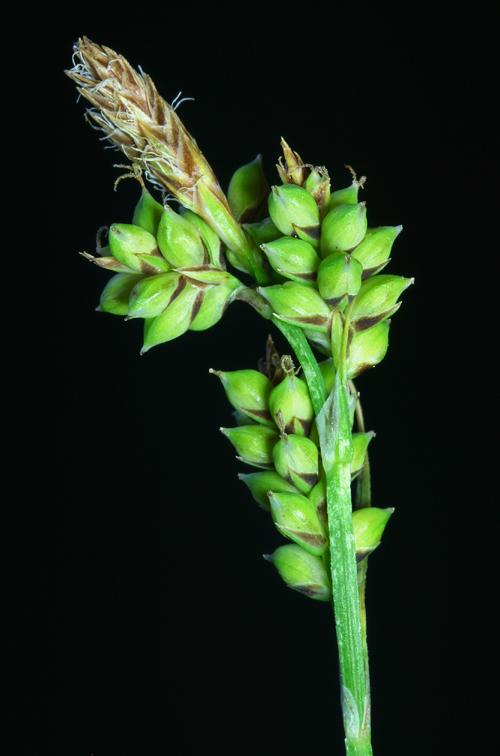 Carex raynoldsii