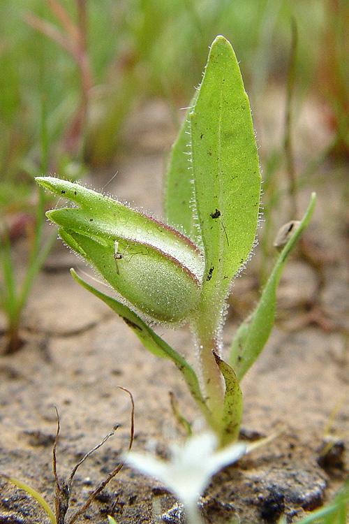 Mimulus tricolor