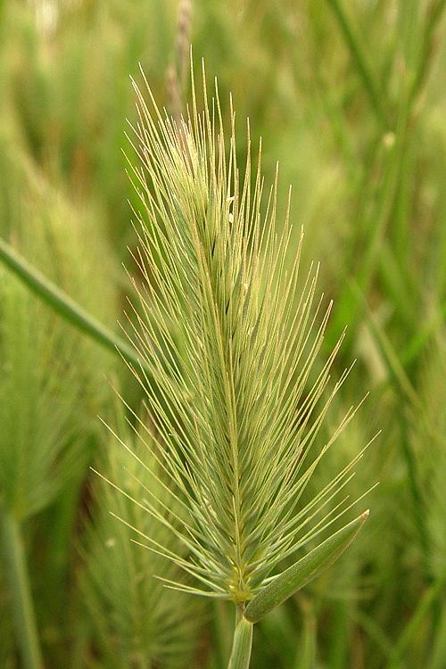 Hordeum marinum ssp. gussoneanum