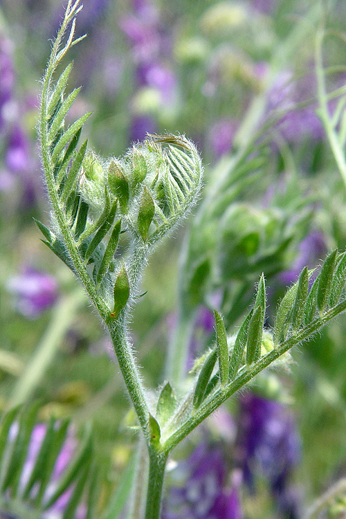 Vicia villosa ssp. villosa