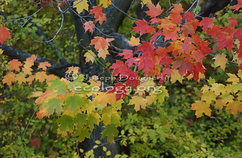 Calphotos Acer Nigrum Black Maple In Fall Foliage