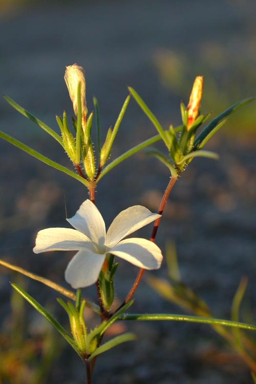 Linanthus jonesii