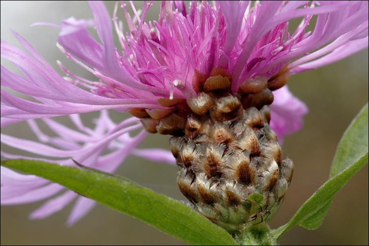 Centaurea jacea ssp. jacea