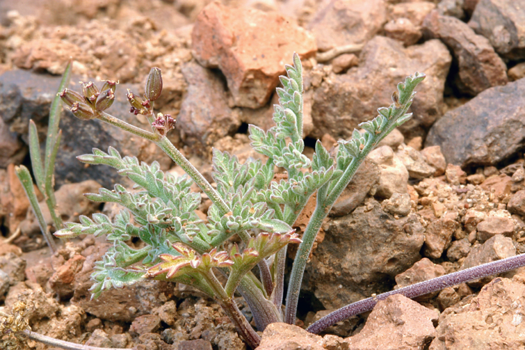 Lomatium nevadense var. nevadense