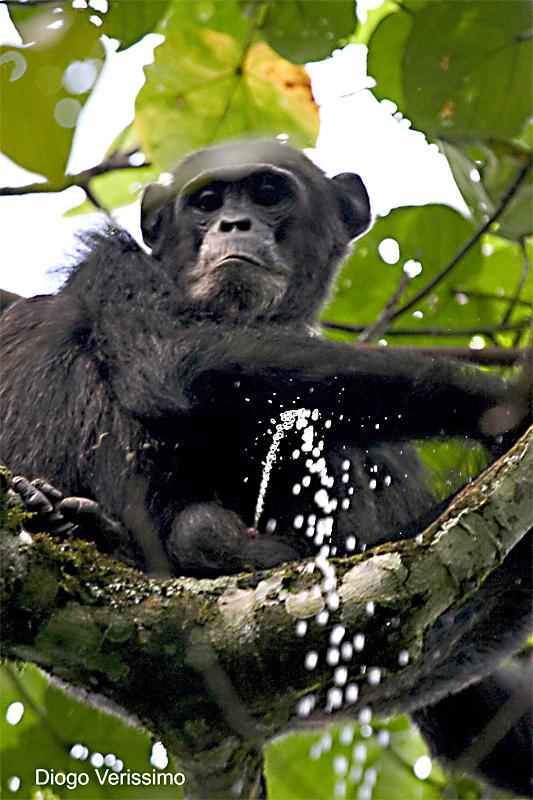 calphotos  pan troglodytes schweinfurthii  chimpanzee