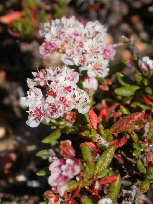 Eriogonum thornei