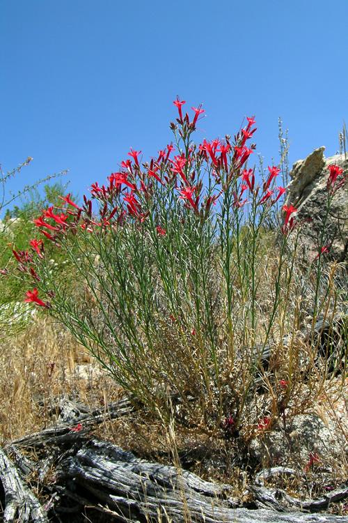 Ipomopsis tenuifolia