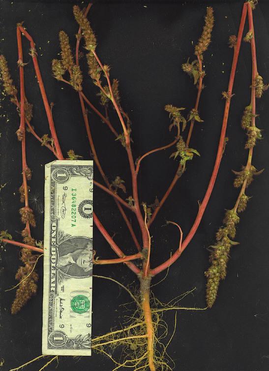 Amaranthus hybridus