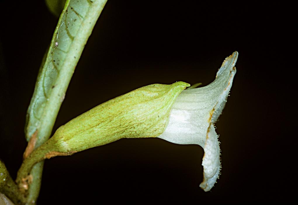Cyrtandra paludosa image