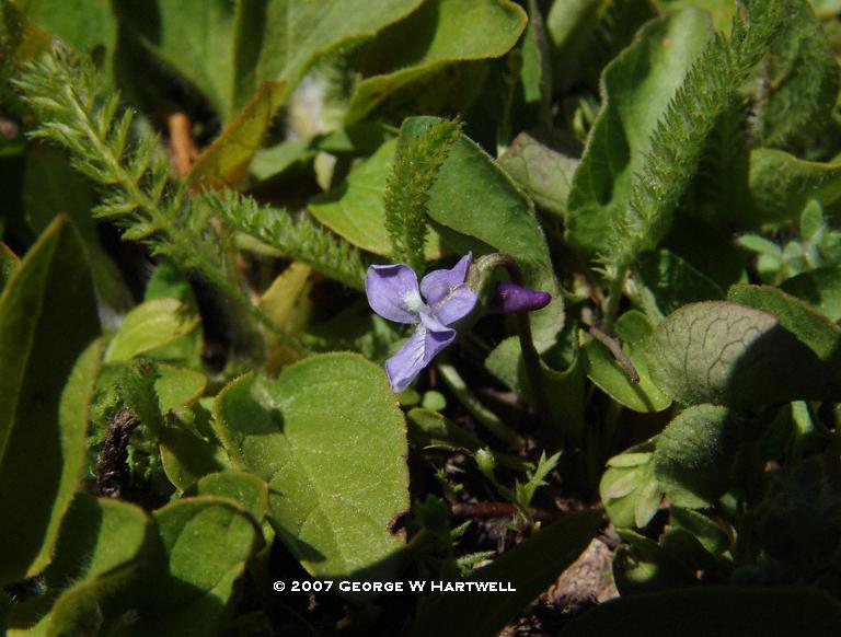 Viola sororia ssp. affinis