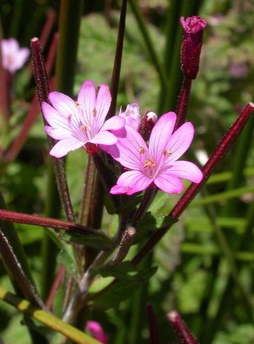 Epilobium ciliatum ssp. watsonii