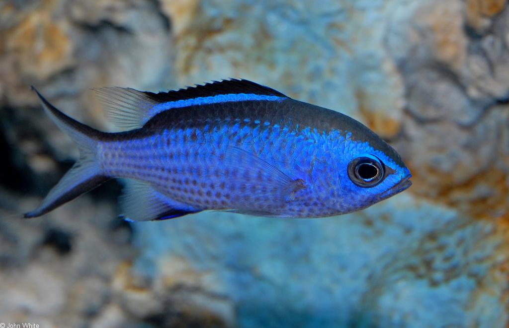 CalPhotos: Chromis cyanea; Blue Chromis