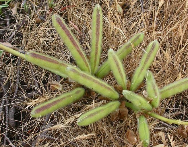 Lupinus variicolor