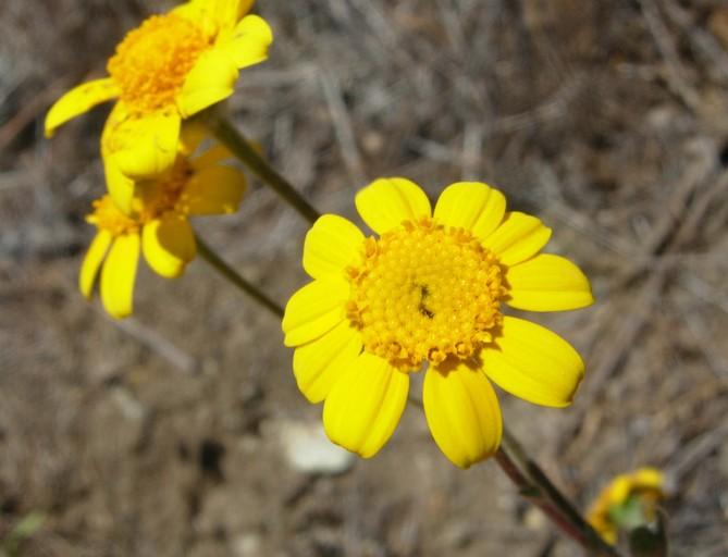 Monolopia gracilens