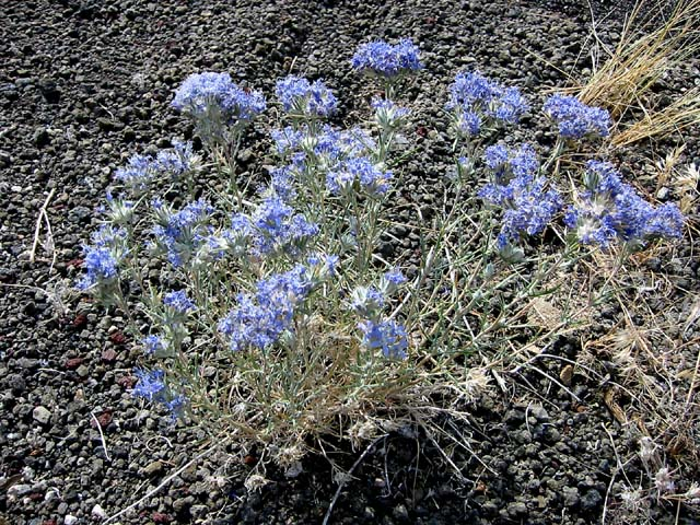 Eriastrum densifolium ssp. austromontanum