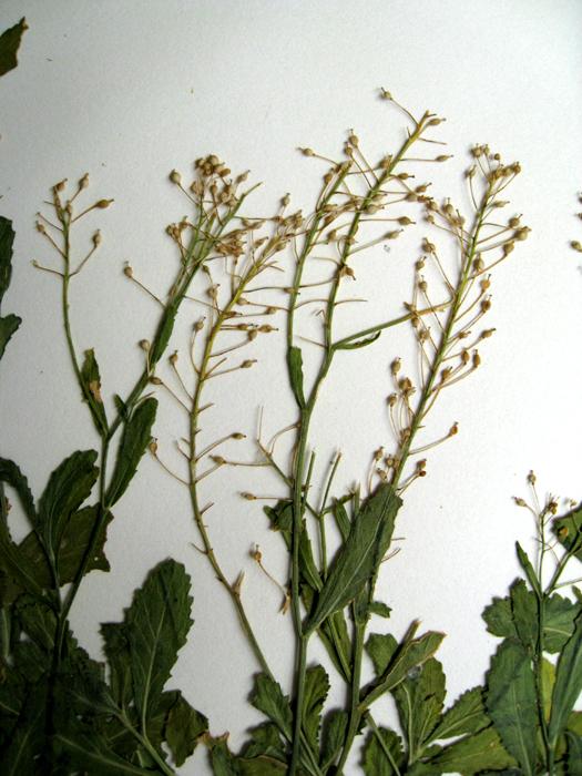 Rorippa austriaca