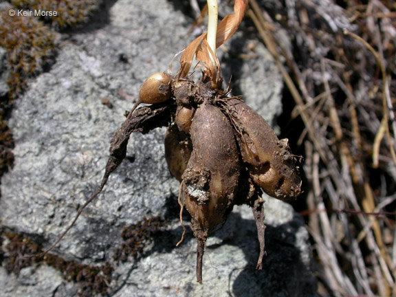 Perideridia oregana
