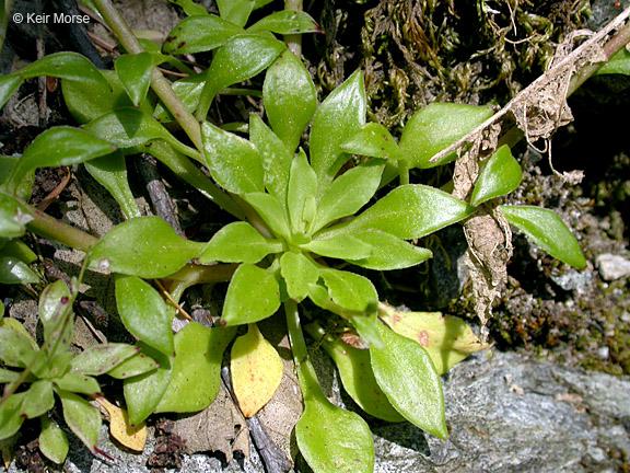 Montia parvifolia