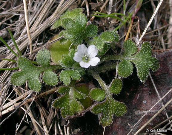 Nemophila parviflora