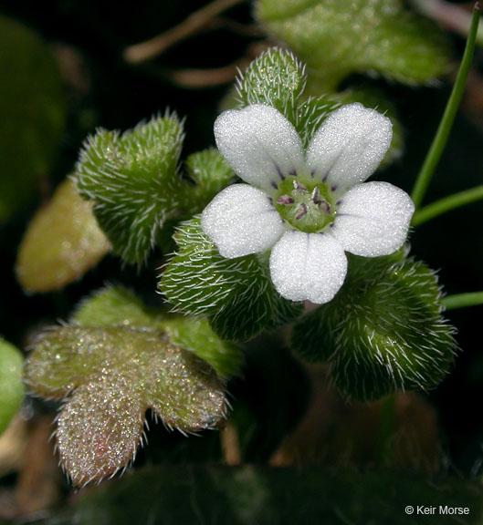 Nemophila parviflora var. parviflora