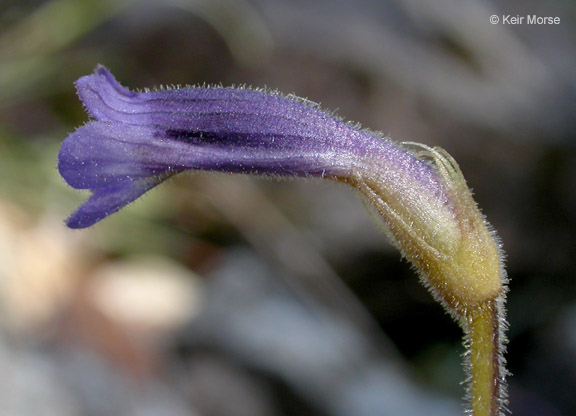 Image of Orobanche uniflora