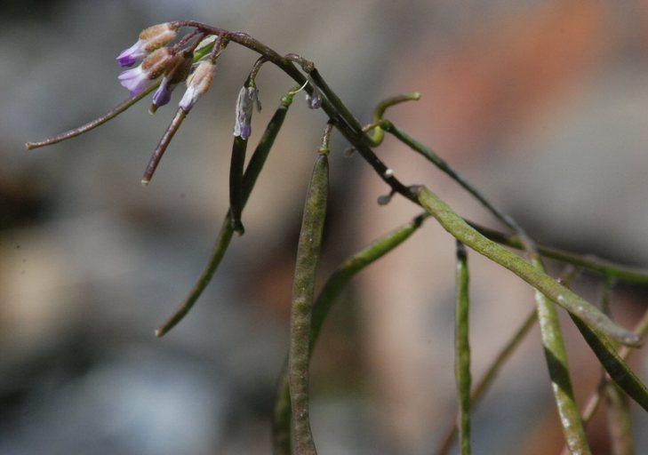 Boechera lemmonii