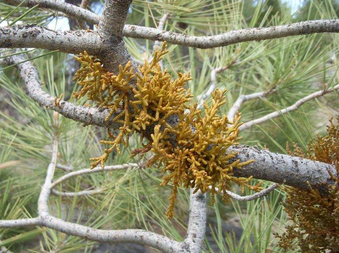 Arceuthobium divaricatum