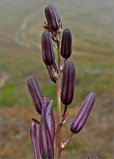 Chlorogalum pomeridianum var. divaricatum