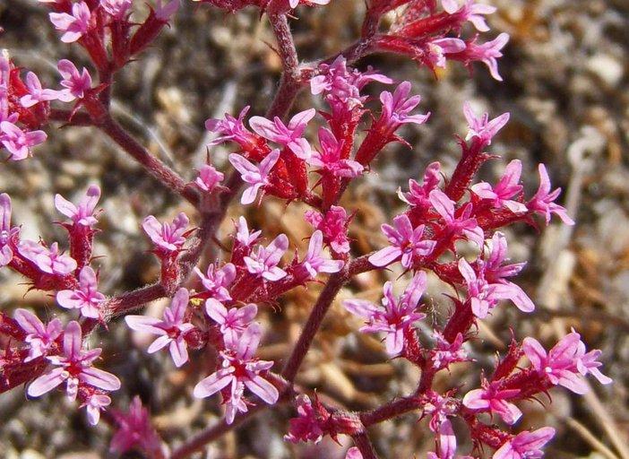 Chorizanthe leptotheca