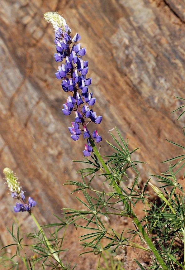 Lupinus benthamii var. benthamii