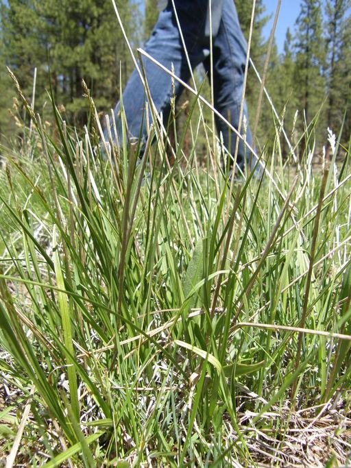 Carex petasata