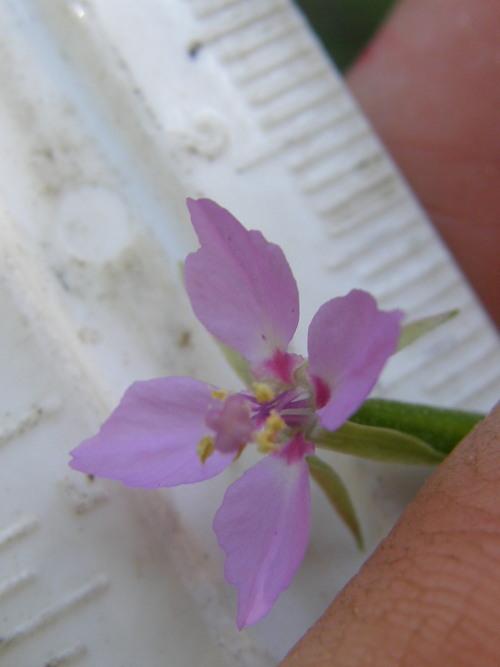 Clarkia stellata