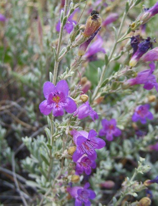 Penstemon californicus