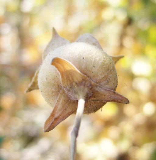Lavatera image