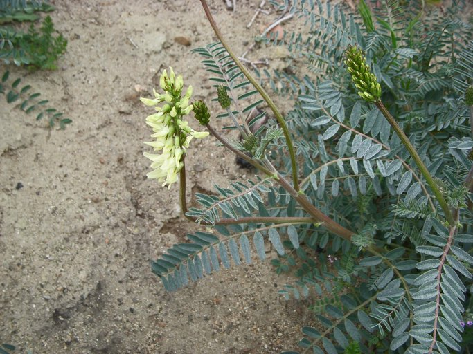 Astragalus trichopodus var. phoxus