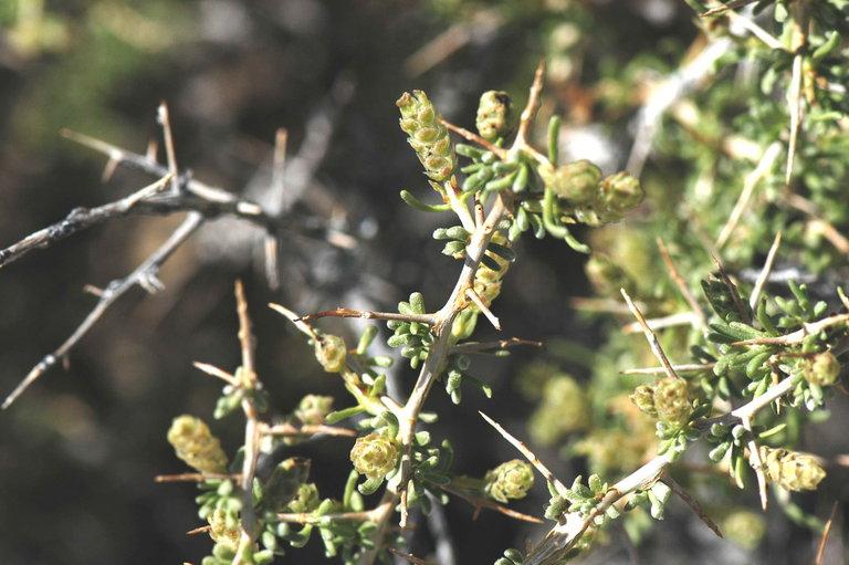 Sarcobatus baileyi