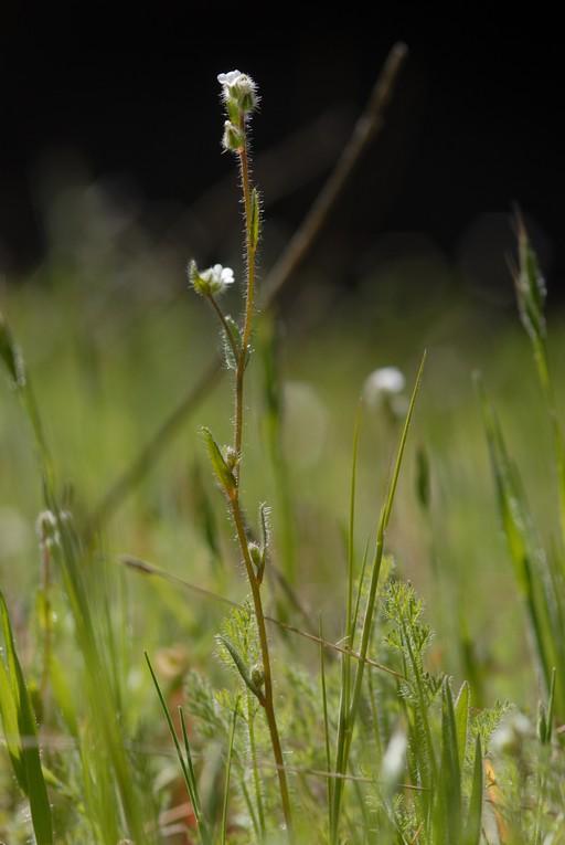 Plagiobothrys verrucosus