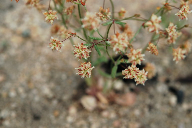 Eriogonum maculatum image