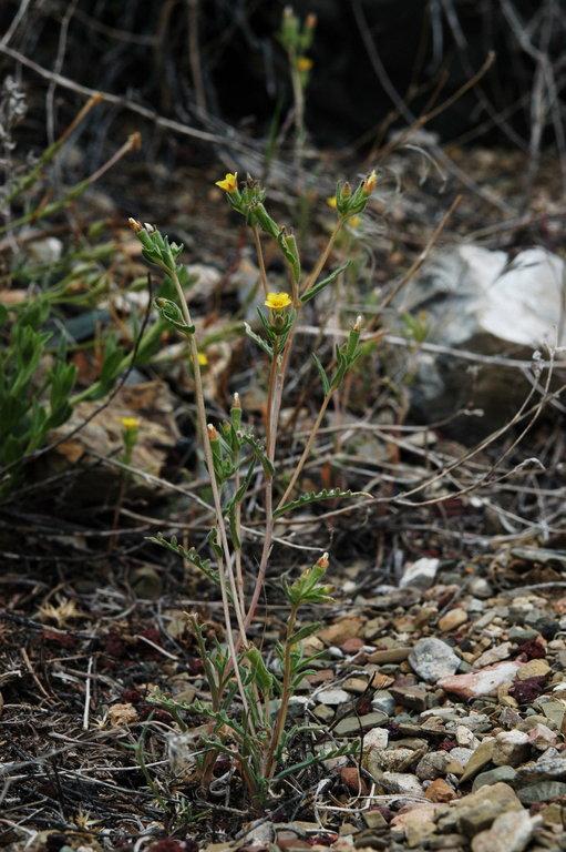 Mentzelia montana